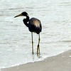A stork out doing some beach fishing and looking for lunch.