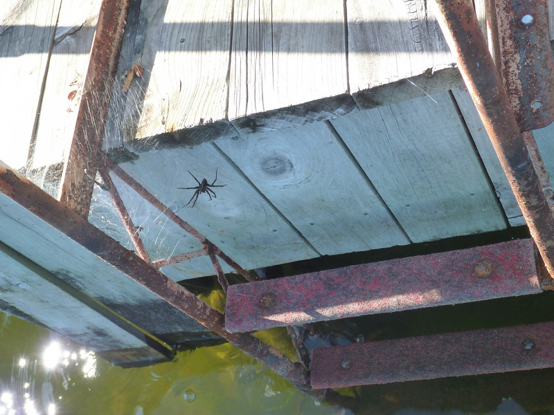 Big spider guarding our ladder from swimmers.