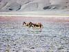 "Taken at Latitude/Longitude:33.047065/78.851517. 7.78 km South Rhongo Kashmir India <a href=""http://www.geonames.org/maps/google_33.047065_78.851517.html""> (Map link)</a>"