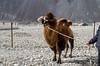 "Taken at Latitude/Longitude:34.577907/77.483682. 1.49 km South-East Hundar Kashmir India <a href=""http://www.geonames.org/maps/google_34.577907_77.483682.html""> (Map link)</a>"
