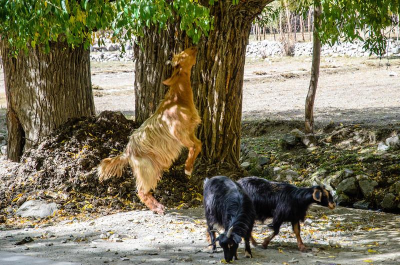 "Taken at Latitude/Longitude:34.407783/76.012532. 4.01 km West Kunore Kashmir India <a href=""http://www.geonames.org/maps/google_34.407783_76.012532.html""> (Map link)</a>"