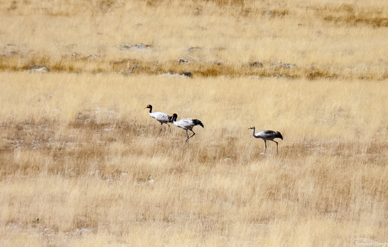 The Visitors : Black necked crane