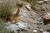 A Chukar Partridge - a common sight on the trail