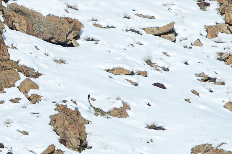 Snow Leopard Ulley Valley