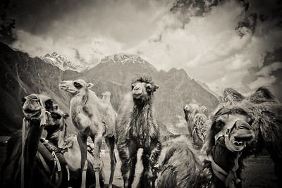 Bactrian Camel Nubra Valley Ladakh