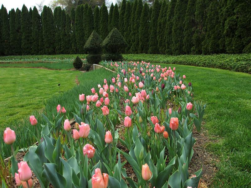 Tulips in the Pink Garden.