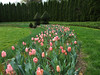 Tulips in the Pink Garden.