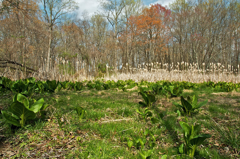 Skunk cabbage and cat o' nine tails