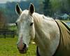 White race horse.