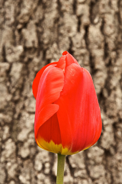 Tulip and bark