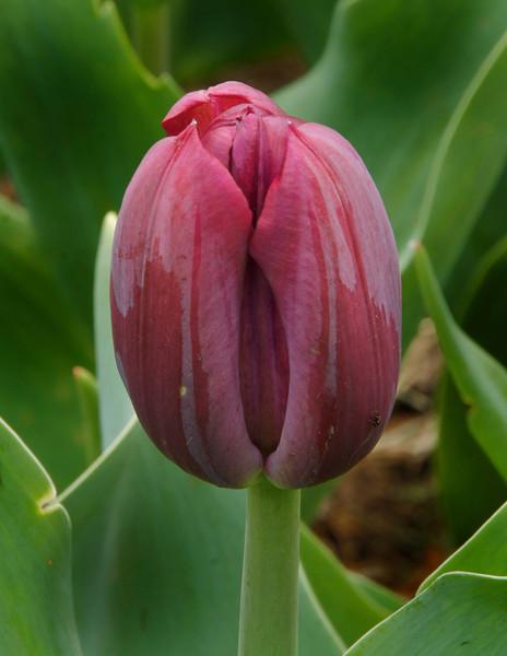 Tulip with tiny bug.