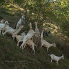 Goats in the mountains above Bardolino