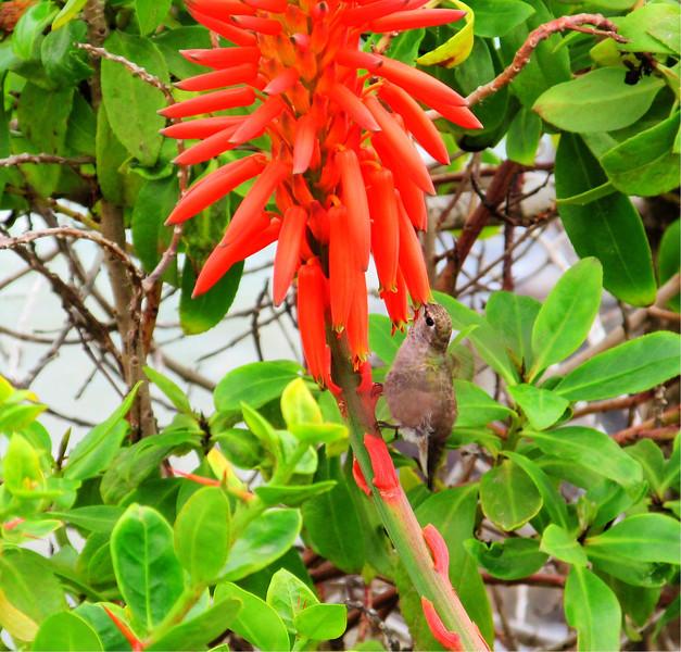 Hummingbird at Cresent Bay Laguna Beach California 11.23.12 COpyright Sue Steinbrook