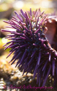 Sea Urchin Remains 3