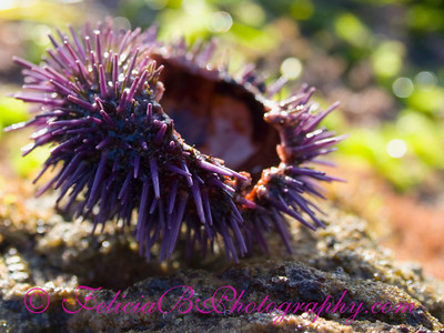 Sea Urchin Remains 4