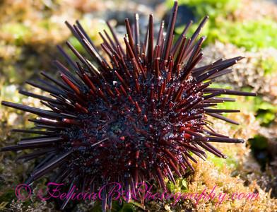Sea Urchin 3