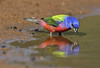 Painted Bunting-male