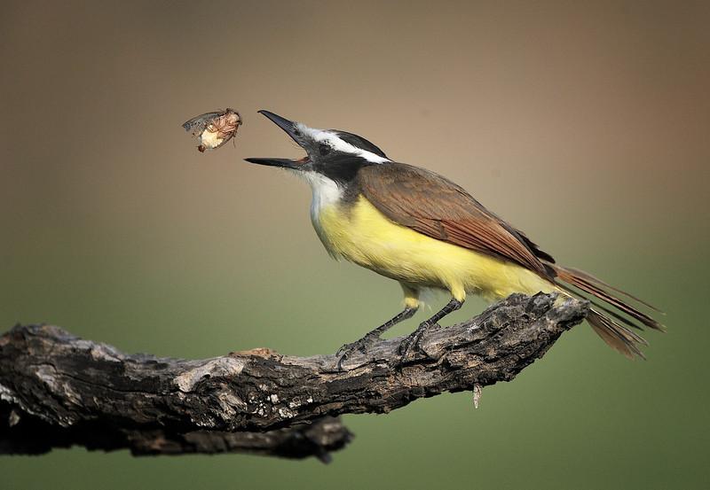 Great Kiskadee eating a larva