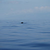 First whale spotted at mid-channel