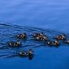 12 Little Ducklings - Lake Alpine, CA