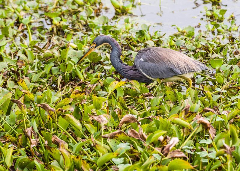 Tri-Colored (Louisiana) Heron