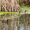Common Gallinule and Blue-Winged Teal