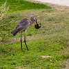 Great Blue Heron and Amphiuna