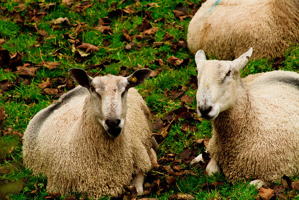 These sheep had the most extraordinary dreadlock style coats