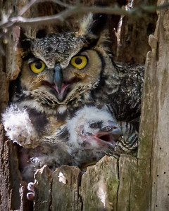 Great Horned Owl with Chick