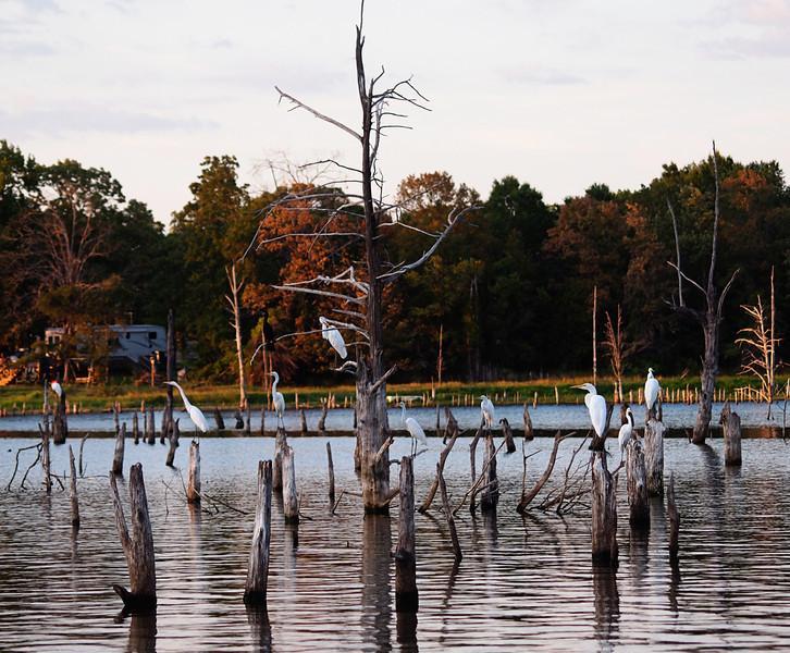 Egret Gathering - Lake Fork