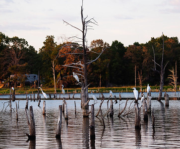 Egret Gathering - Lake Fork
