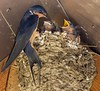 Barn Swallow's nest at the restrooms of Bow Lake.