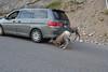 Bighorn Sheep in Jasper National Park set up their own vehicle inspection station beside Medicine Lake. (?)