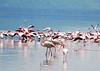 Lake Nakuru0001_108