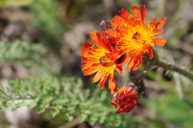I believe this one is Orange Hawkweed (Hieracium aurantiacum). Found growing near the shore of Lake Superior in Temperance River State Park, Minnesota.