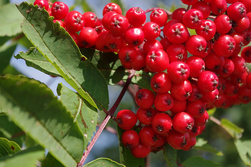 Red berries of the rowan, or mountain ash. Species is Sorbus americana. Said to be astringent, especially before the first frost, but have long been used to make preserves, sauces, wine, and liqueur. Temperance River State Park, Minnesota.