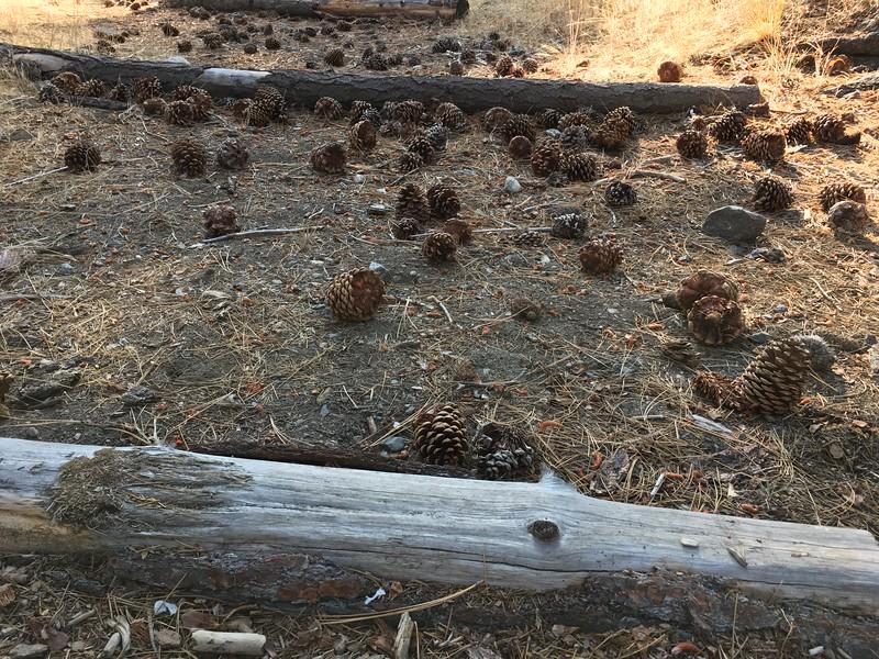 Ponderous ponderosa pine cones
