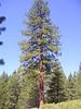 INteresting pine trea