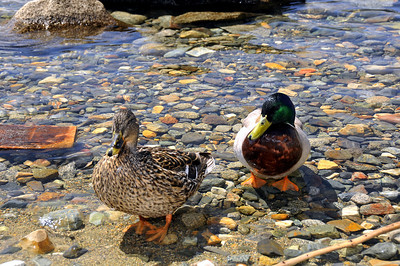 we don't have ducks like these back home