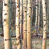 Aspen Trees Lake Tahoe