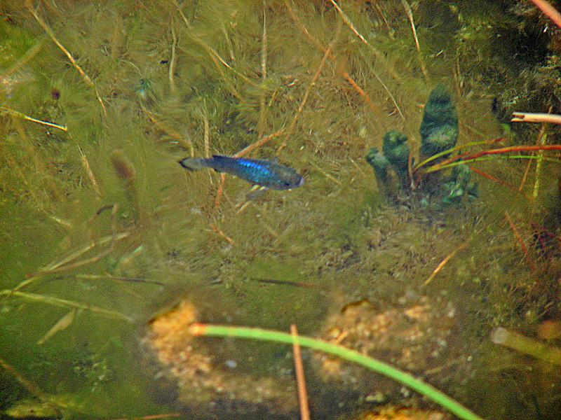 Silvery-Blue Pupfish in 87 deg spring water- Ash Meadows NWR