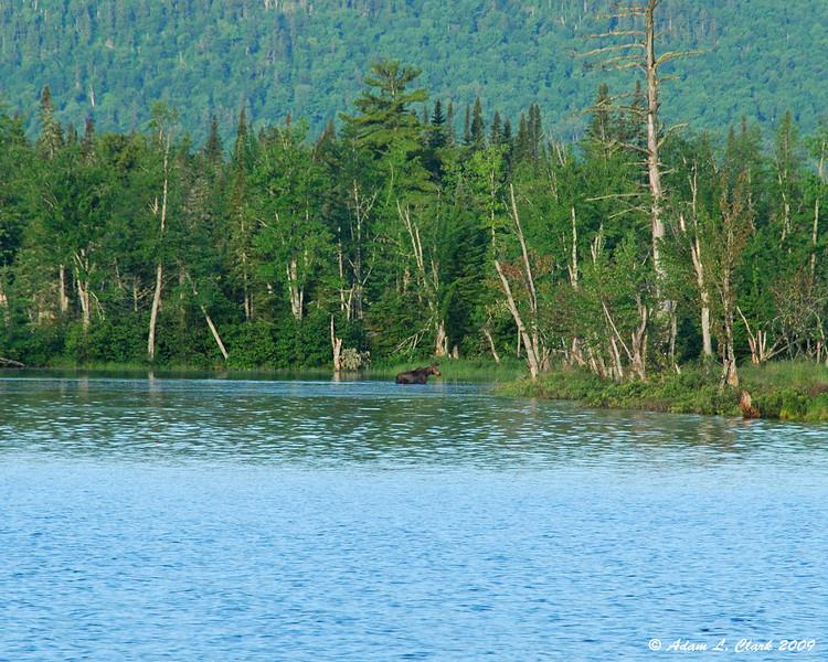 Bull moose on the edge of the lake