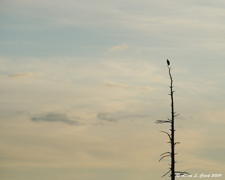Bald Eagle on his perch