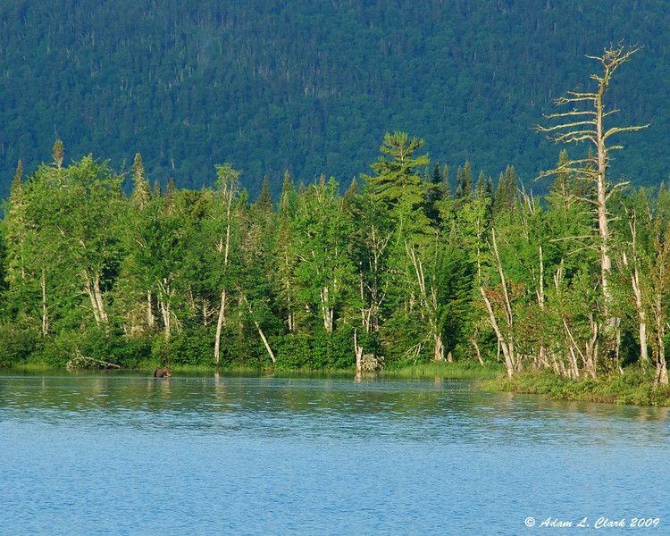 A bull moose on edge of the lake