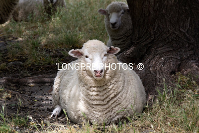 Handsome sheep,  Whare Kea grounds.