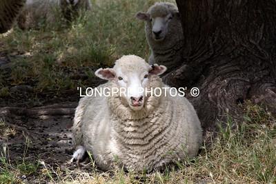 Handsome sheep,  Whare Kea grounds.