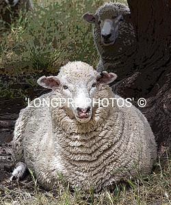 Art work of SHEEP posing.