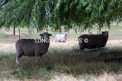 Sheep under tree.