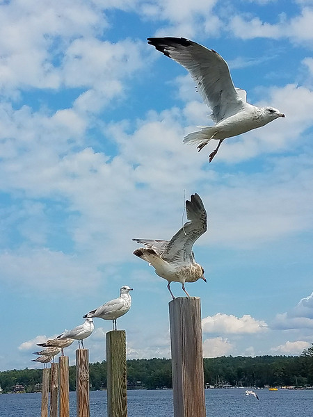 Gulls on the pier at Weirs Beach