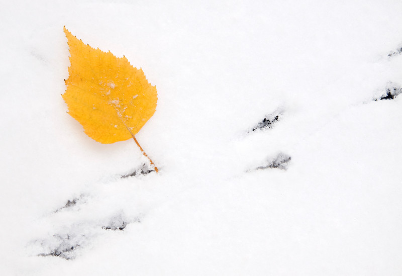 Birch Leaf in Fresh Snow